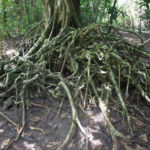 Large exposed roots of a tree on Tachai