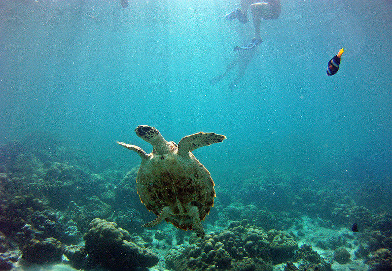 Turtles can be found in the Andaman Sea around Koh Lipe and its neighbouring islands