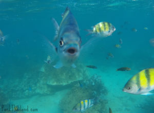A Sergeant Major Fish in Koh Lipe