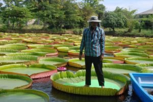 Giant Victoria Lilies In Phitsanulok, northern Thailand