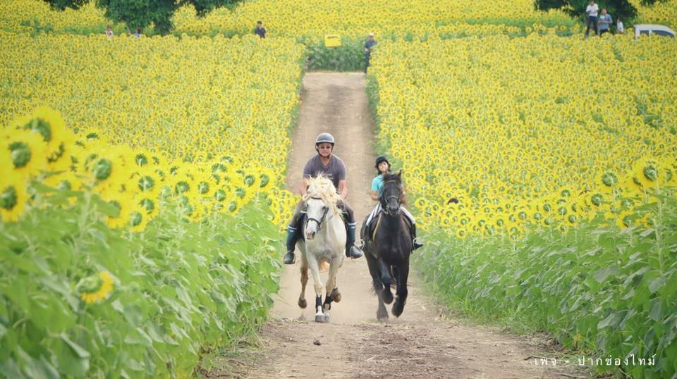 Horseriding at the sunflower field tour in Nakhon Ratchasima