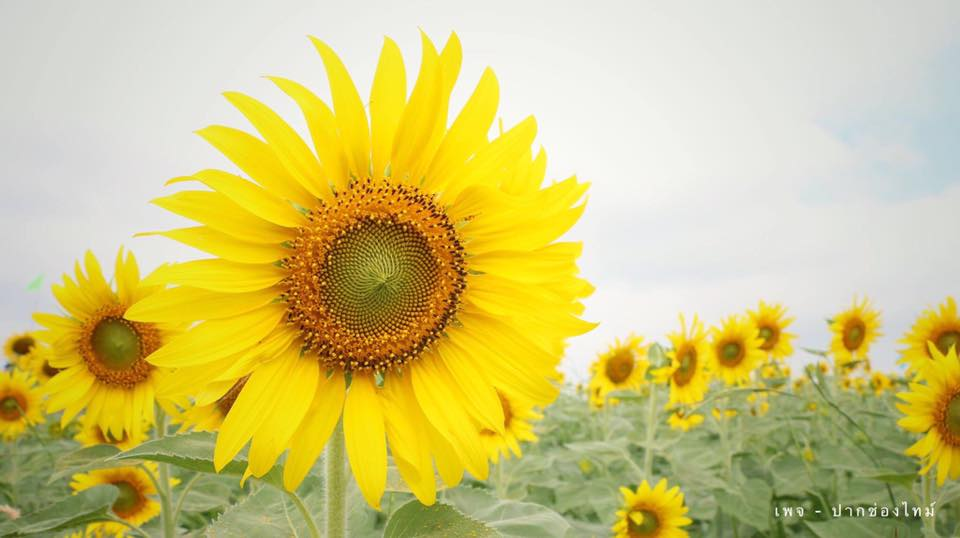 The sunflowers bloom in the summer and last until early January