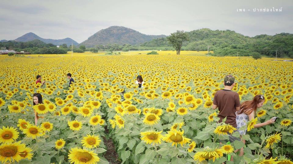 the sunflower field tour in Nakhon Ratchasima