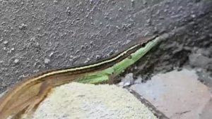 the long tailed grass lizard with a half grown half green body