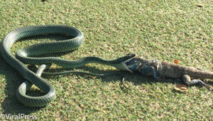 Snake swallowing Iguana on a golf course in Bangkok